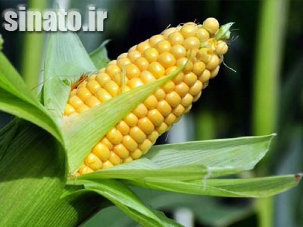 تاثیر اسید هیومیک بر رشد گیاه ذرت