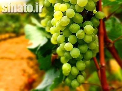 سولفات آهن و اسید هیومیک بر رشد میوه انگور