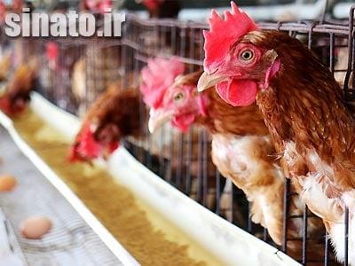 کربنات کلسیم در تغذیه مرغ تخمگذار